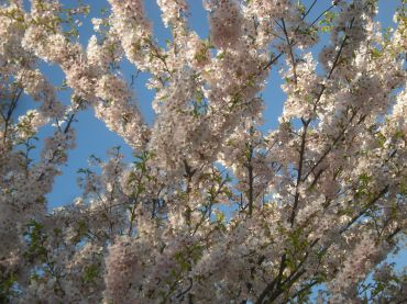 Full Tree of Blossoms