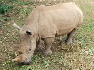 White Rhinoseros