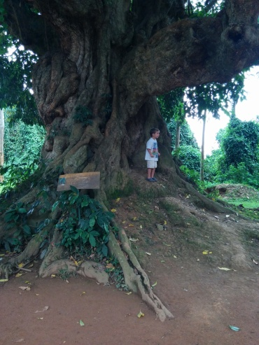 A really awesome tree that was at the Entebbe Wildlife Park